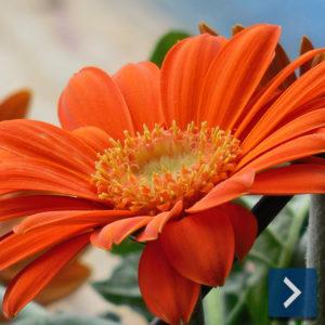 Blumendünger