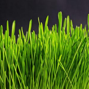 Rasenwissen Kategorie Gräser für Saatgut