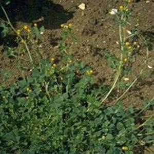 Klee Im Rasen Was Tun Gegen Klee Im Rasen