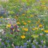 Rasendoktor Blumenmischung Nützlingsparadies