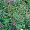 Rasendoktor Blumenmischung Schattenblüher