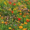 Rasendoktor Blumenmischung die Widerstandsfähige